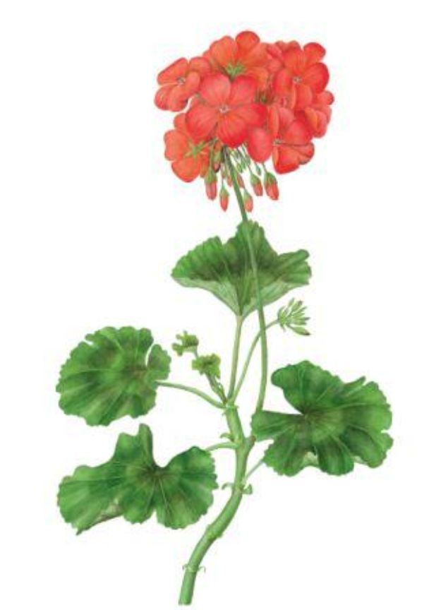Flower Drawing Tutorials - Draw and Paint a Pelargonium in Watercolour - Simple Tutorial for Easy Flower Doodles, Vintage Design Ideas for Flowers, Step by Step Pencil Drawings - How to Draw a Rose, Lily, Hibiscus, Daisy